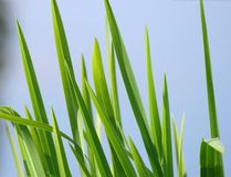 Blades of Grass Royalty Free Stock Photography
