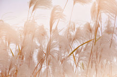 Reed Стоковое фото RF