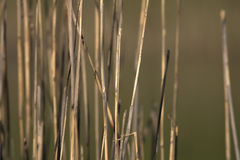Reed Стоковая Фотография RF