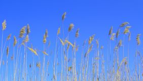 Reed. Yellow reed with blue sky on background stock photos