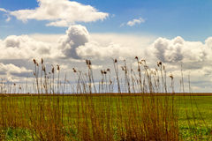 Reed Стоковые Фото