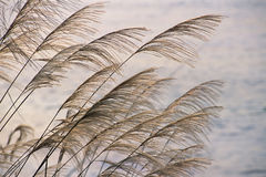 Reed. S grow along seashore sway in summer breeze Royalty Free Stock Photos