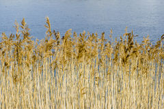 The reed. Spring time, Riverside with reeds Stock Photography