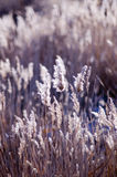 Reed. The ripened ear of a reed on fiends Royalty Free Stock Photo