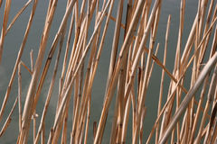 Reed. Detail of reed, river in background Royalty Free Stock Photo