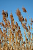 Reed. And blue sky in winter Stock Photography