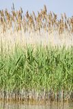 Reed Stock Image