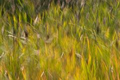 Reed Abstract. Photograph of reeds blowing in the wind at Summer Lake, Oregon stock photography