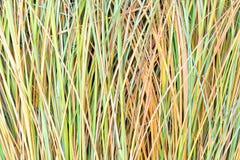 Reed acecha el papel pintado Fondo de la paja de la hierba Fondo ascendente cercano de la textura de la hierba imagenes de archivo