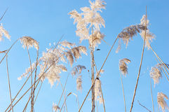 Reed against the blue sky Stock Image