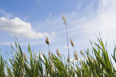 reed against cloudy sky in wind day Royalty Free Stock Photo