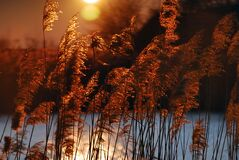 Reed Against Sunset In Autumn Royalty Free Stock Image