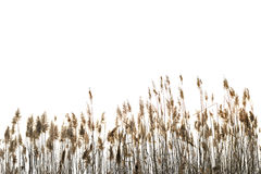 Reed against white Royalty Free Stock Photo