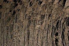 Reed alla notte immagine stock libera da diritti