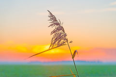 Reed along the shore of a lake at sunrise Royalty Free Stock Photography
