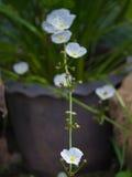 Reed Amazon Flowers Blooming blanco fotografía de archivo libre de regalías