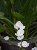 Reed Amazon Flowers Blooming blanco imagen de archivo