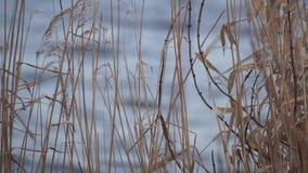Reed ao lado do lago ou do rio video estoque