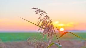 Reed ao longo da costa de um lago no nascer do sol Fotografia de Stock