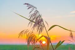 Reed ao longo da costa de um lago no nascer do sol Fotos de Stock
