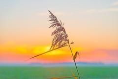 Reed ao longo da costa de um lago no nascer do sol Fotografia de Stock Royalty Free