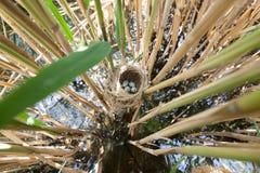Певчая птица Reed гнезда большая (arundinaceus настоящей камышевки) Стоковое Изображение RF
