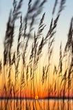 Reed au coucher du soleil Photographie stock
