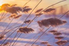 Reed au coucher du soleil photos stock