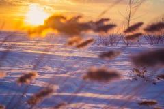 Reed au coucher du soleil Photo stock