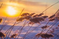 Reed au coucher du soleil Image libre de droits