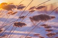 Reed au coucher du soleil Photos libres de droits