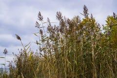 Reed auf der Küste der Seeküste im Golf von Riga, Lettland, Kurzeme lizenzfreie stockfotos