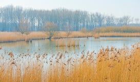 Reed auf einem Gebiet entlang der Rand von einem See Lizenzfreie Stockbilder
