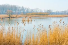 Reed auf einem Gebiet entlang der Rand von einem See Stockfoto