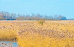 Reed auf einem Gebiet entlang einem gefrorenen See bei Sonnenaufgang Stockbild