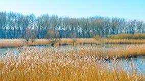 Reed auf einem Gebiet entlang einem gefrorenen See bei Sonnenaufgang Lizenzfreies Stockfoto