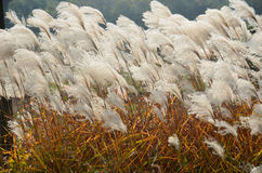 Reed and autumn Royalty Free Stock Images