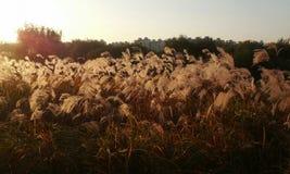 Reed of autumn Royalty Free Stock Photos