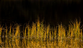 Reed in autumn sun Royalty Free Stock Image