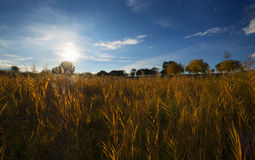 Reed in autumn sunset Stock Photography
