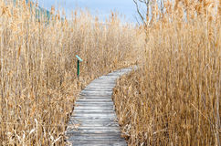 Reed  in  the autumn. Walkway   with  dry  common reed  in  marsh  in a wildlife reserve in the autumn Royalty Free Stock Photos