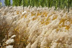 Reed in autumn. Wind blow reed in autumn field Royalty Free Stock Image