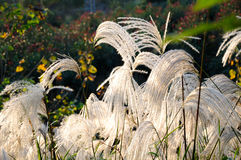 Reed in autumn Stock Photos