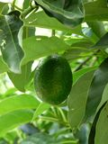 Reed Avocado. The Reed Avocado (Persea americana) is a large round green fruit with a dark, thick glossy skin. The skin ripens green.This avocado is growing in Stock Image