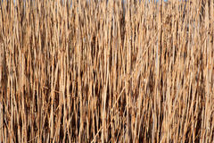 Reed background Royalty Free Stock Images