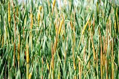 Reed background. Image of river reeds or bullrushes as a background Royalty Free Stock Photography