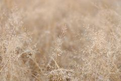 In selective focus of a small dried wild grass flower in a spring time with soft light style. Reed background backdrop stock photo