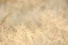 In selective focus of a small dried wild grass flower in a spring time with soft light style. Reed background backdrop royalty free stock photo