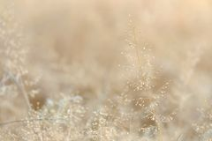 In selective focus of a small dried wild grass flower in a spring time with soft light style. Reed background backdrop royalty free stock photography