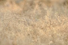 In selective focus of a small dried wild grass flower in a spring time with soft light style. Reed background backdrop stock images